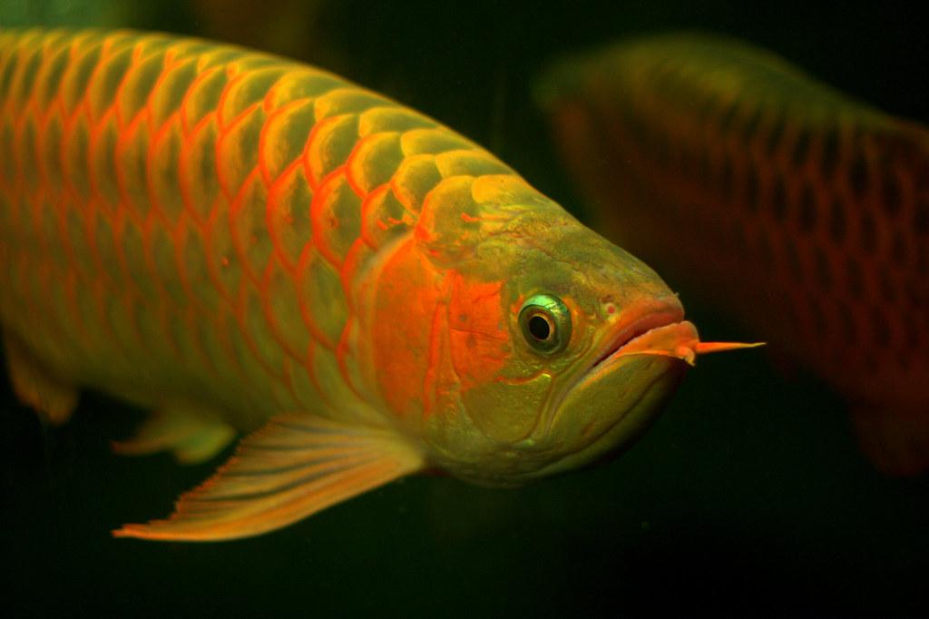 Hal yang Harus Dihindari Saat Memelihara Ikan Arwana
